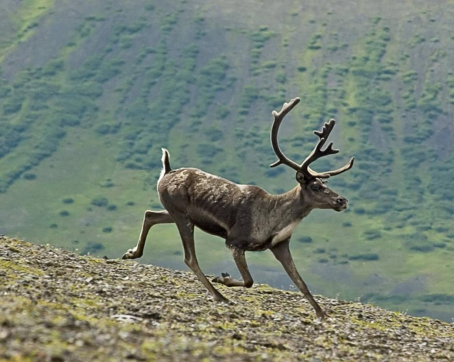 Caribou running with field in the background